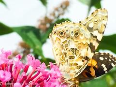 Butterfly - wild garden