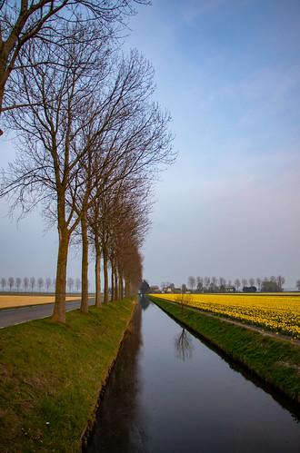 Daffodil fields, Polderbaan, Netherlands.