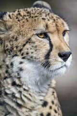 Portait of a calm cheetah
