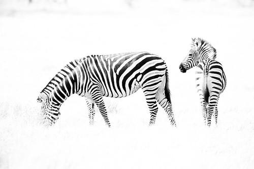 High Key Zebra