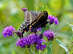 Black Swallowtail (Paplio polyxenes)