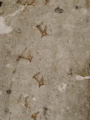 San Francisco, California - Alcatraz / steps of a sea gull in the concrete.