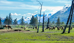 Alaska Wildlife Conservation Center_2