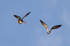 Pair of Black Skimmers Inflight