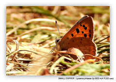 Ground Level. Small Copper Butterfly