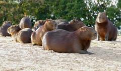 Capybaras (Hydrochoerus hydrachaeris) resting on the beach ...