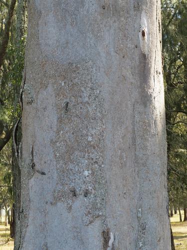 Eucalyptus canaliculata bark_Ironbark Paddock2
