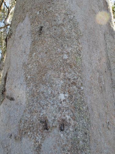 Eucalyptus canaliculata bark_Ironbark Paddock3