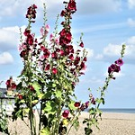 Hollyhocks On Aldeburgh Sea-front by Sue Ould