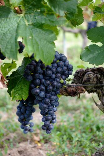 Little green grape
