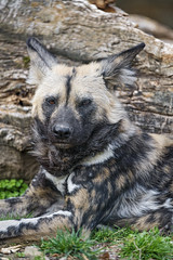 Wild dog relaxing
