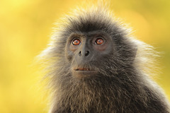 Image by Bruno Tartaglione (184060075@N02) and image name BIG SAD EYES photo  about   I took this picture of a silvered leaf monkey (langur) at the mouth of Selangor River, Strait of Sumatra.  Unlike macaques, which are pickpockets (I've experienced that!), langurs are beggars. They seem very sweet and  meek. This one  looked  at me with his big sad beseeching eyes and stretched ou