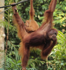 Image by Bruno Tartaglione (184060075@N02) and image name SORRY, MOM, I DID A SMELLY ONE photo  about I took this photo of a mother orangutan with her cub at Semenggoh Natural Reserve, Sarawak, Malaysian Borneo on July 11th 2016. Here the wardens trained young orangutans how to survive in the wild. So in the surrounding forest there is a population of oragutans breeding in the wild. They use to roam