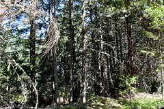 Crowded forest in need of thinning
