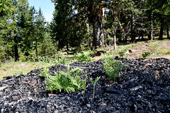 Biochar pile with young vegetation