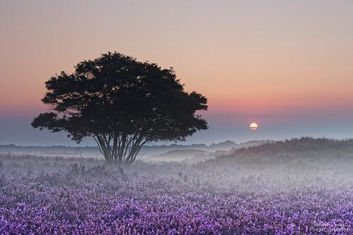 Heather Field at Sunrise