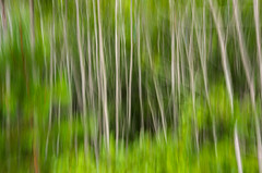 Image by Bud in Wells, Maine (65039623@N05) and image name Young Birches photo