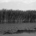 Reeds of Skadar  (MF Pro400H)