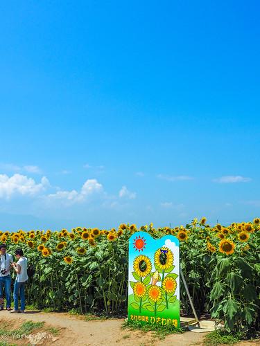 2019 Sunflower field #4
