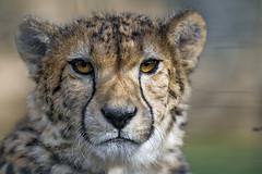 Another cheetah portrait