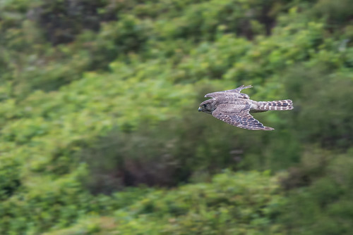 Merlin over the moors