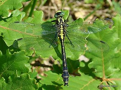7 - Common Clubtail > Common Goldenring