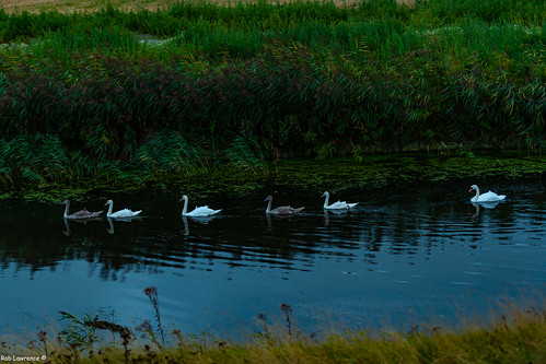 Young Swans Almost got the White Fethers ...