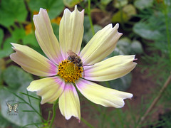 Cosmos 'Apricot Lemonade' with a bee
