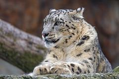 Attentive snow leopardess