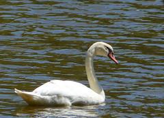 Ducks, Loons & a Swan