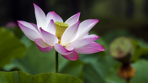 about lotuses