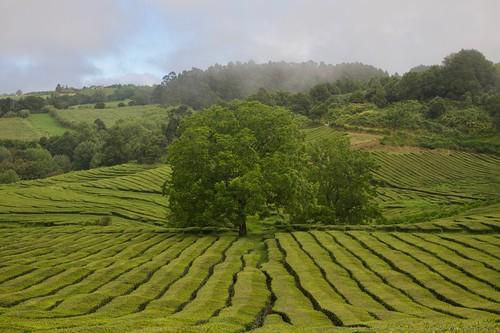 Plantações de Chá Gorreana