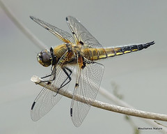9 - Four-spotted Chaser > Southern Skimmer