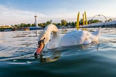 Close-up of a swan feeding
