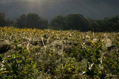 Image by Bud in Wells, Maine (65039623@N05) and image name A Creepy Morning? photo  about A field of spider webs.  The smallest were about 1' diameter.