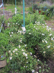 Daisies In Permaculture Bed - Red Moon Sanctuary, Redmond, Western Australia