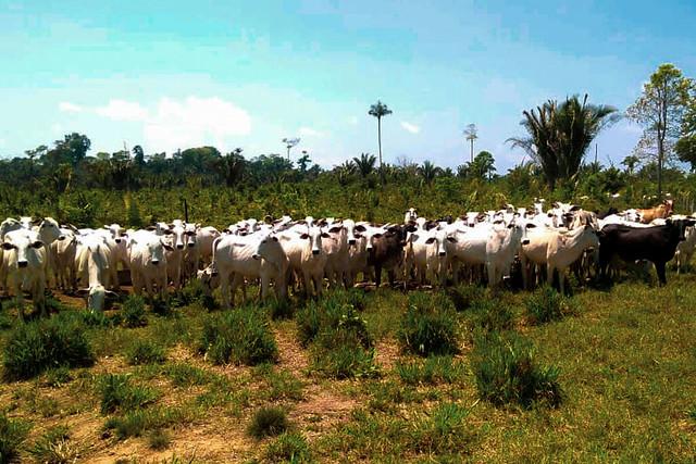Pecuária é responsável por 80% do desmatamento na Amazônia, afirma pesquisadora