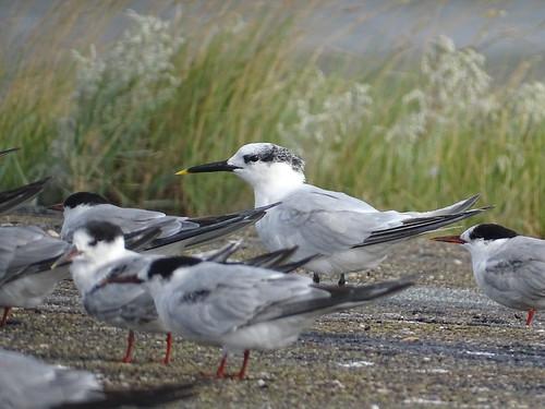 Grote Stern   Sandwich Tern (Thalasseus sandvicensis)   Lauwersoog nl
