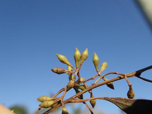 Eucalyptus crebra buds NC2