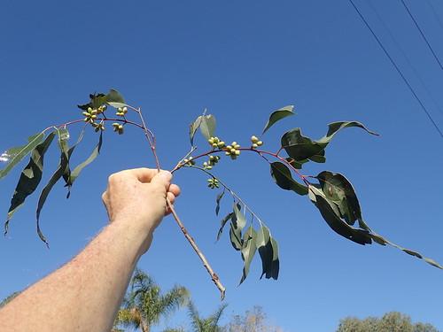 Eucalyptus camaldulensis var. obtusa branch NC1