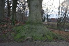Wortels van een grote boom (135FJAKA_2674)