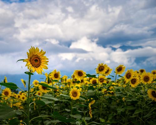 2019 Sunflower