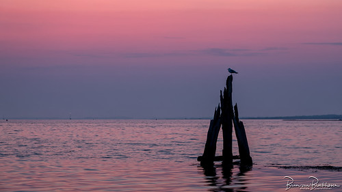Gull on an old bollard at dawn