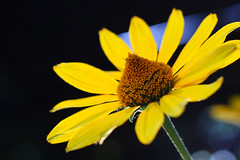 Orange-yellow #flowers at #sunset. Similar to #daisy flowers on a blurred background.