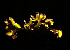 Image by Bruno Tartaglione (184060075@N02) and image name THE THING!!! photo  about My favourite plant shot in my kitchen. The Venus flytrap, Dionaea muscipula, is a carnivorous plant native to  North and South Carolina. It catches its prey, mainly insects and arachnids, rarely little vertebrates (frogs and lizards), with a trapping structure formed by the terminal portion of the l