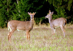 Two white-tailed deers