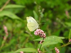 Large White Butterfly DSCN0187