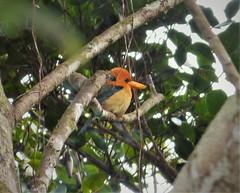 Yellow-billed Kingfisher. Syma torotoro