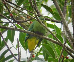 Dwarf Fruit Dove. Ptilinopus nainus