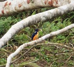 Azure Kingfisher. Ceyx azureus